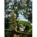 Sachet de 250g de Guarana liane en poudre A.E.A. Biologique certifié Ecocert